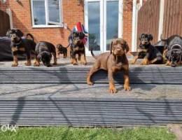 Reg Doberman Puppies ,ready To Leave
