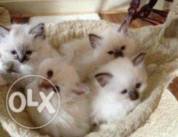 Birman Very affectionate kittens ready to ...