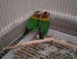 Love Birds with Cage and breeding box