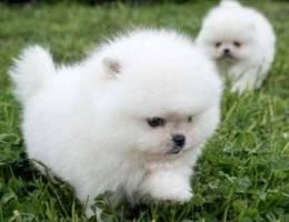 Charmy Pomeranian puppies Available